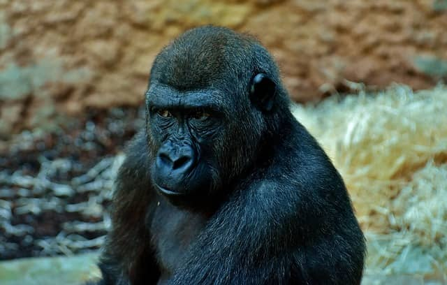 A gorilla with a skeptic look